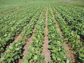 Oleaginosas la producci n de soya en brasil for Densidad de siembra de tilapia